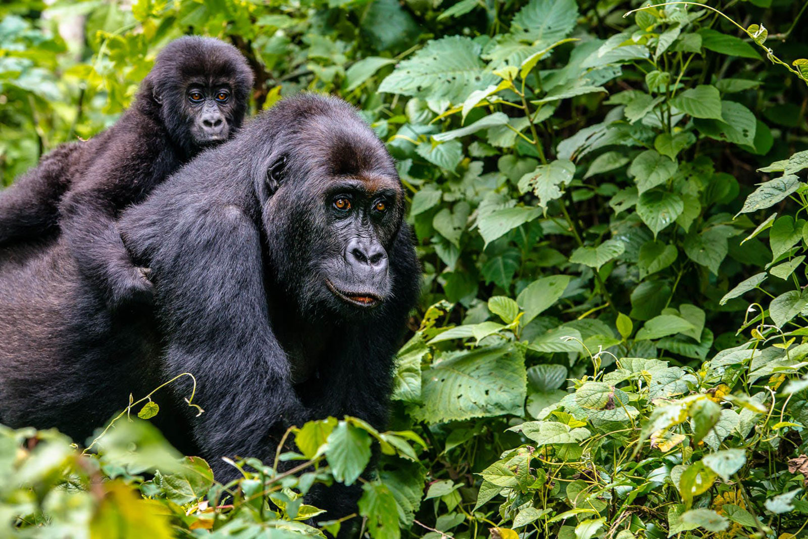Afbeeldingsresultaat voor rwanda safari
