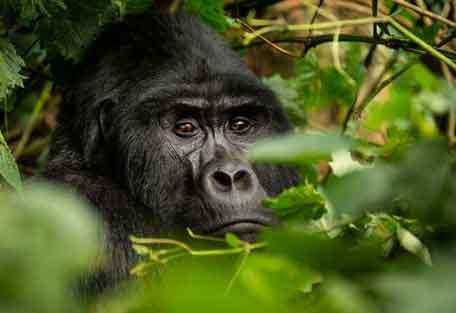 456-gorilla-safari-experience2.jpg