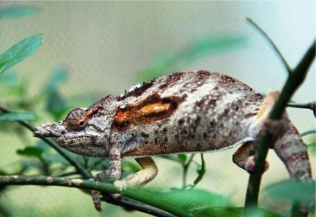 456_madagascar_chameleon.jpg