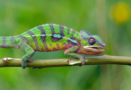 456_east_chameleons.jpg