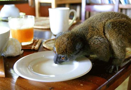 456_lapetite_lemur.jpg