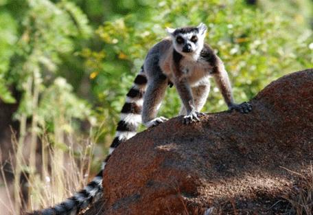 456_north_lemur.jpg