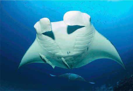 456n_kuredu-island-resort_manta-rays.jpg