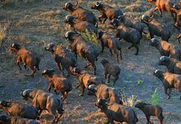 456_gorongosa_buffalos.jpg