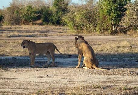 456_gorongosa_lionesses.jpg