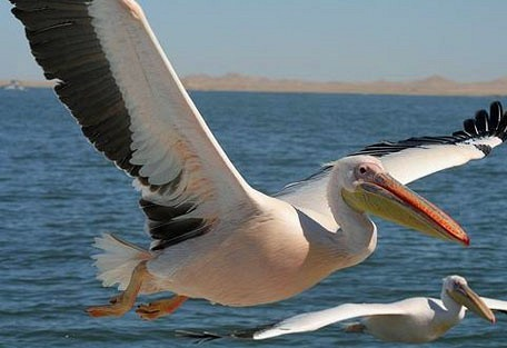 456i_pelicanbay_pelican.jpg