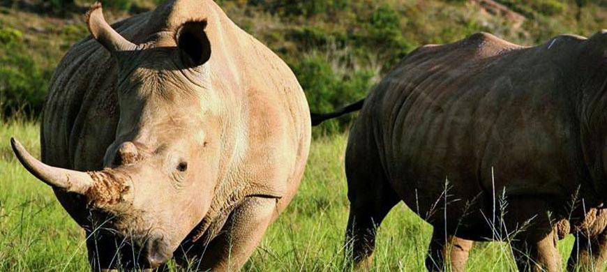 870_botlierskop_rhinos.jpg
