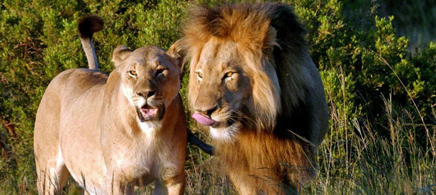 870_kwantu_lions.jpg