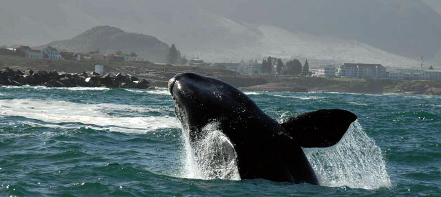 870_hermanuslodge_whale.jpg