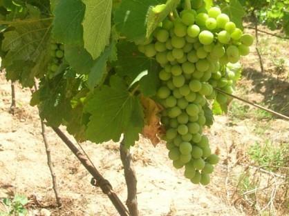 03-grapes.jpg