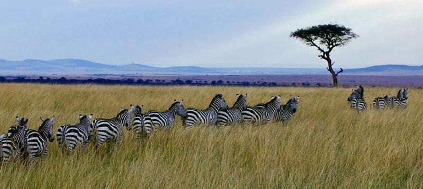 870_loasis_zebras.jpg