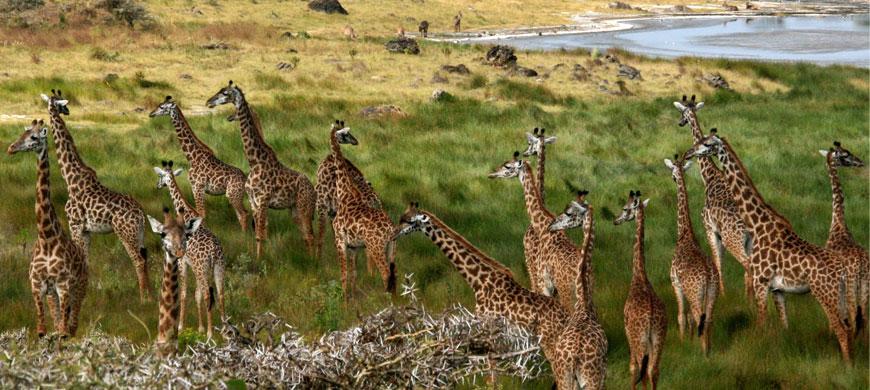 870_arusha_giraffes.jpg