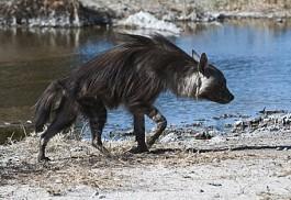 brown-hyena3-kalahari.jpg