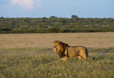 male-lion2-kalahari.jpg