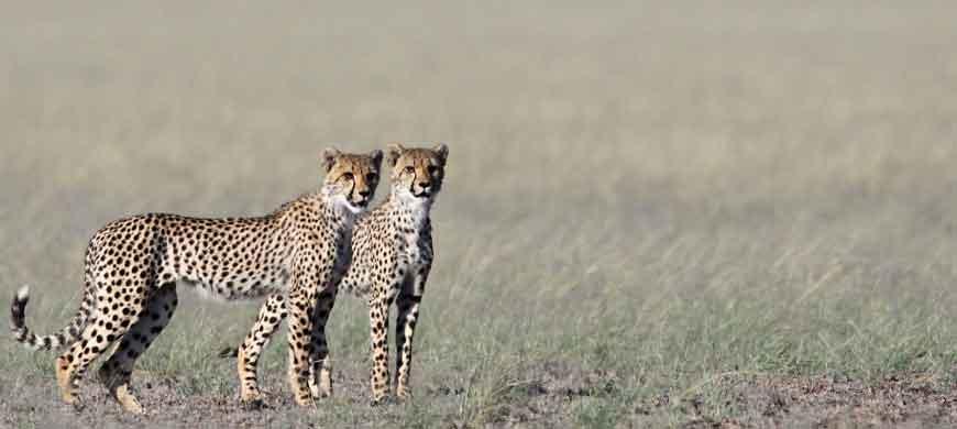 cheetah2-kalahari.jpg