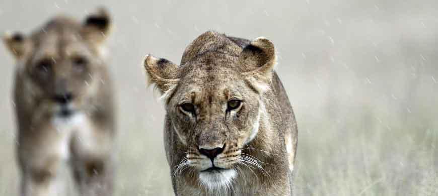 lioness-kalahari.jpg