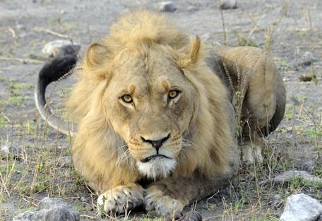 lion-chobe.jpg
