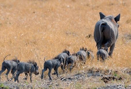 warthog-chobe.jpg