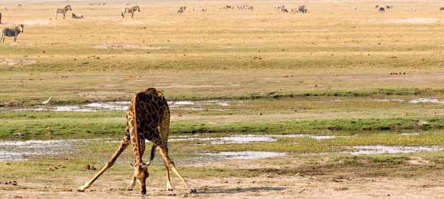 giraffe3-chobe.jpg