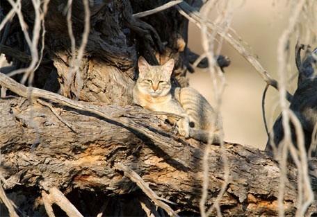 456_kgalagadi_wildcat.jpg