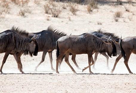 456_kgalagadi_wildebeest.jpg