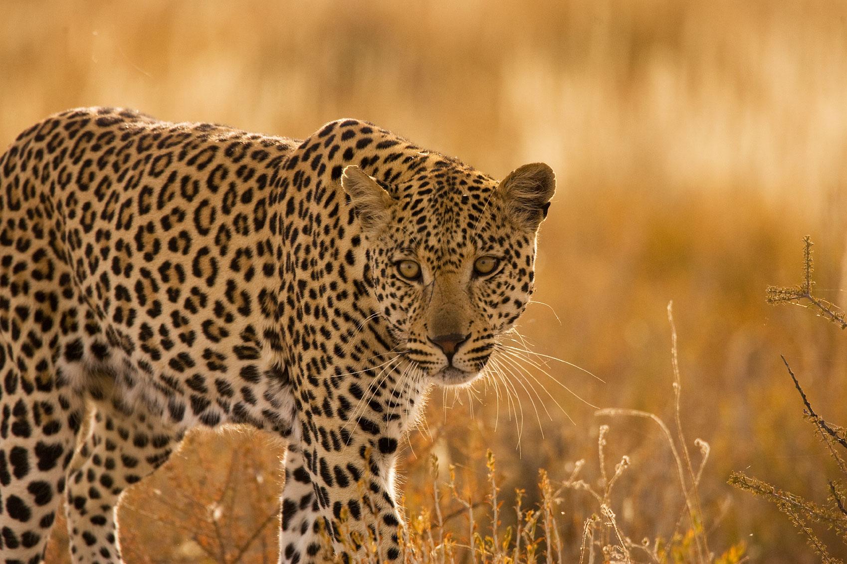 kgalagadi-leopard.jpg