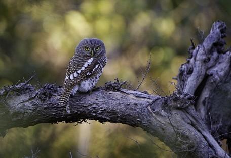african-barrred-owl-linyant.jpg