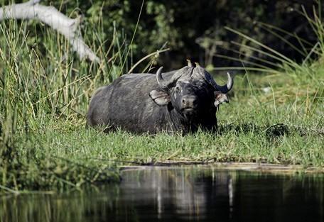 buffalo3-linyanti.jpg