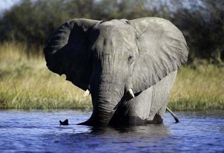 elephant11-linyanti.jpg