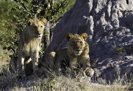 lions2-linyanti.jpg