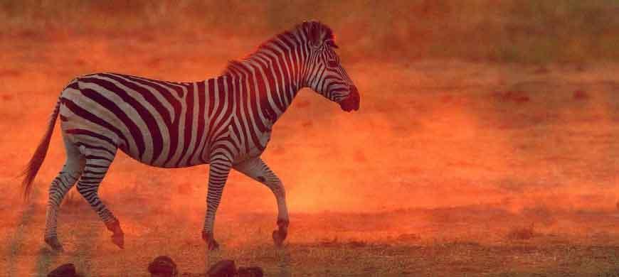 zebra3-linyanti.jpg