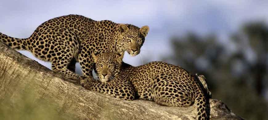 leopard-cubs2.jpg
