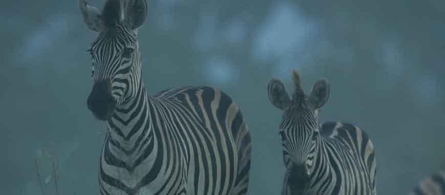zebra-misty.jpg
