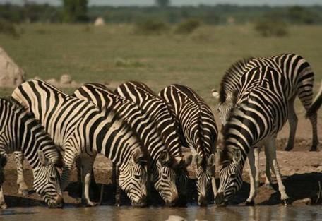 zebra-drinking.jpg