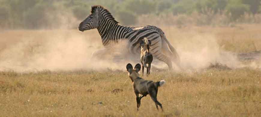 zebra-wild-dog-hunt.jpg
