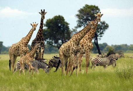 giraffe-okavango.jpg