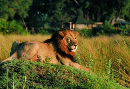 mombo-lion.jpg