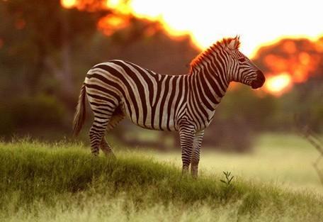zebra-okavango.jpg