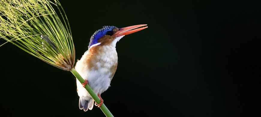 malachite-kingfisher-okavan.jpg