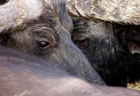 kenya-buffalo.jpg