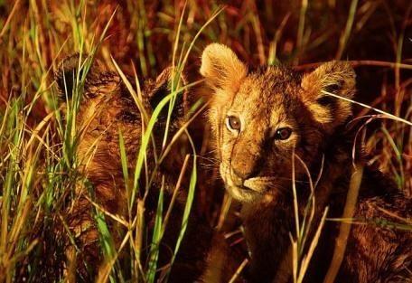 kenya-lioncubs.jpg