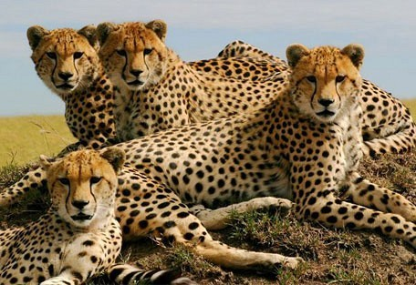 cheetahs_.jpg