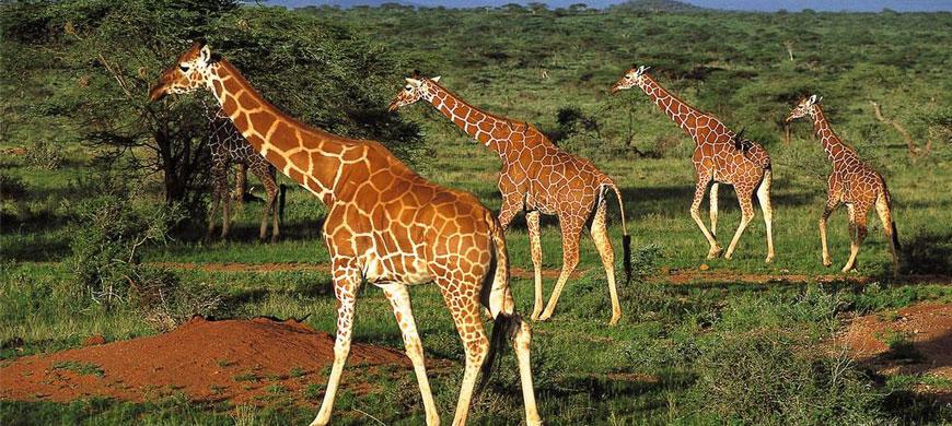 a_giraffe_1.jpg