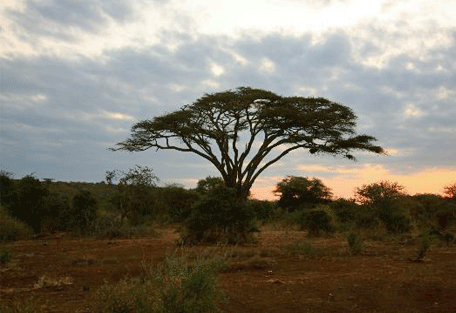 456f_kampi-ya-kanzi-acacia-tree.jpg