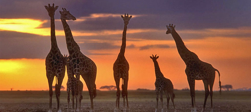 giraffe_sunset.jpg