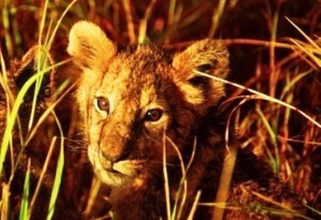 kenya-lioncub.jpg