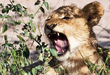 nakru-baby-lion-yawn.jpg