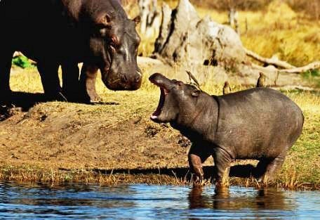 nakuru-hippo.jpg