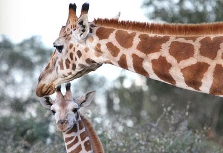 456_ekoriansmugie_giraffe.jpg