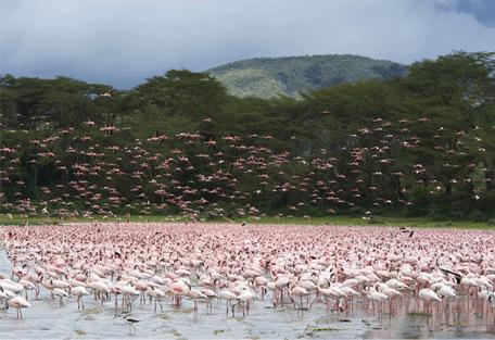 456_lakebogoria_flamingos.jpg